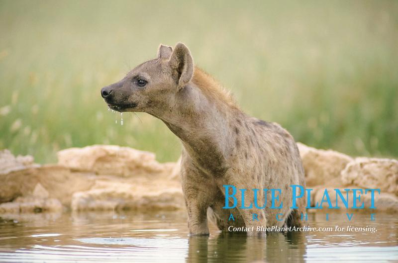 Spotted Hyena (Crocuta crocuta), Kgalagadi Transfrontier Park, South Africa, Africa