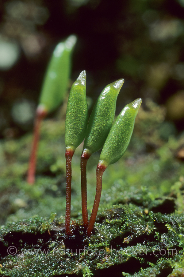 Grünes Koboldmoos, Blattloses Koboldmoos, Pferdehufmoos, Buxbaumia aphylla var. viridis, Buxbaumia aphylla, Buxbaumia indusiata