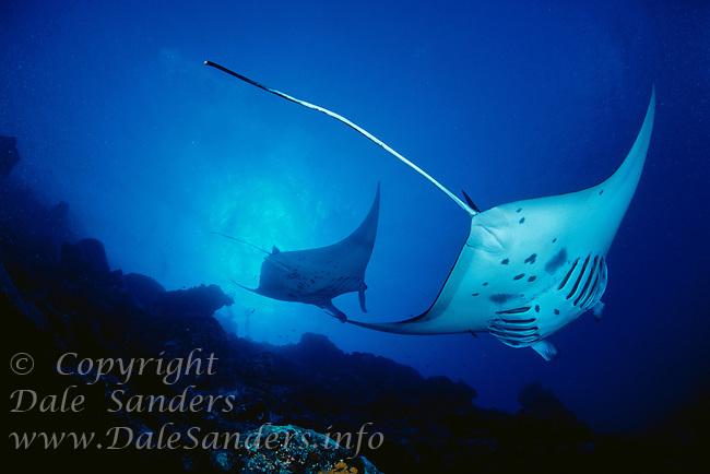 700-30968.© Dale Sanders.Manta Rays.Yap, Micronesia
