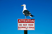 """Funny portrait of a western gull standing on a """"do not feed birds"""" sign, in the blue sky of La Jolla Cove, near San Diego, California USA"""