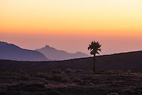 Mountain lobelia at sunrise in the Bale Mountains of Ethiopia