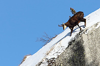 Chamois buck going downwards in the snow on a blue sky background