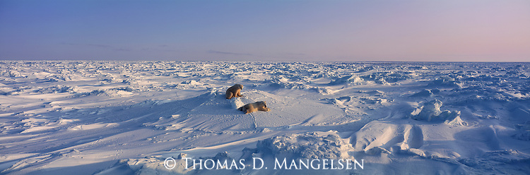 Two polar bears rest on the snow after play fighting at Cape Churchill in Manitoba, Canada.