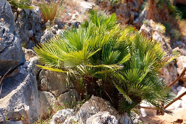 Dwarf palms [ Chamaerops humilis ] Riserva Naturale dello Zingaro [ Zingaro nature reserve ] Scopello, Castellammare Del Golfo , Sicily. also called European Fan Palm or Mediterranean Fan Palm