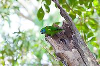 Double-Eyed Fig-Parrot female, race macleayana, Cairnes, Queensland, Australia