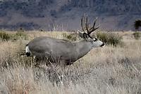 10 Point Mule Deer Running, Texas roadside, Fort Davis