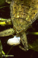 WS10-009x   Giant Waterbug with prey - salamander  -  Lethocerus spp.