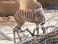 0529-1102  Lesser Kudu, Tragelaphus imberbis  © David Kuhn/Dwight Kuhn Photography