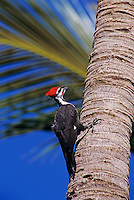 Pileated Woodpecker, Dryocopus pileatus, male on palm tree, Sanibel Island, Florida, USA, Dezember 1998