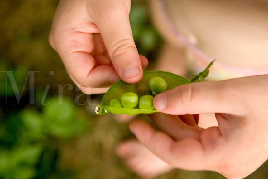 Pea - Snap opened in childs hands