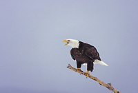Bald eagle perched on a driftwood branch along the shores of Kachemak bay in Homer, Alaska.