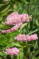 Clethra alnifolia 'Ruby Spice' pink summersweet in flower in July