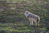 Gray wolf stands on the summer tundra, Denali National Park, Alaska