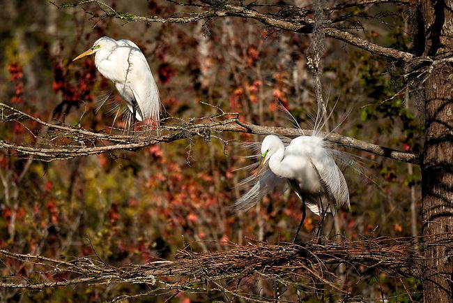 Great Egret (Casmerodius albus) nesting
