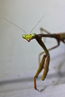 A Praying Mantis close-up in Holly Hill, Florida.  (Photo by Brian Cleary/www.bcpix.com)