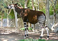 0605-1103  Okapi, Eating Leaves off Branch, Okapia johnstoni  © David Kuhn/Dwight Kuhn Photography