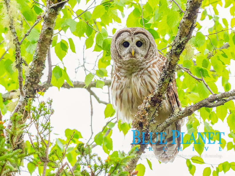 barred owl, Strix varia, in day time perched in a hardwood tree, Nova Scotia, Canada