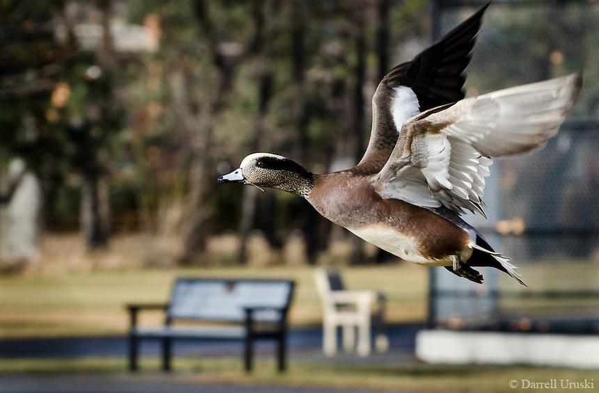 Action photograph of a Mallard duck in flight.