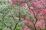 Dogwoods in Bloom, Cornus nuttallii, Fern Canyon Garden, Mill Valley, California
