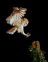 Barn owl (Tyto alba) flying at night, Spain