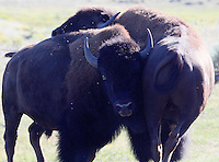 TWO BULL BISON WRESTLE DURING RUTTING SEASON AT YELLOWSTONE NATIONAL PARK,WYOMING