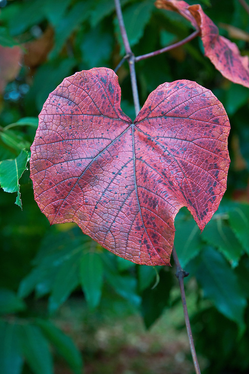 """Crimson glory vine (Vitis coignettiae), so called because of the rich reds and purples of the foliage in autumn, mid October. """"A bold and vigorous vine able to scramble up the tallest trees. The young foliage and twining tendrils are fawn in colour, ageing dark green and becoming coarse textured and leathery. Covered in a deep rusty down on the underside, the leaves are shallowly lobed and more or less round, impressively spanning over 30cm in diameter. In the autumn the best clones turn deep beetroot purple with flushes of crimson ... Origins: Japan. First introduced plants were seedlings by Madame Coignet."""" [Fergus Garrett, Great Dixter, Nurseryman's Favourites, Gardens Illustrated magazine, November 2013]"""