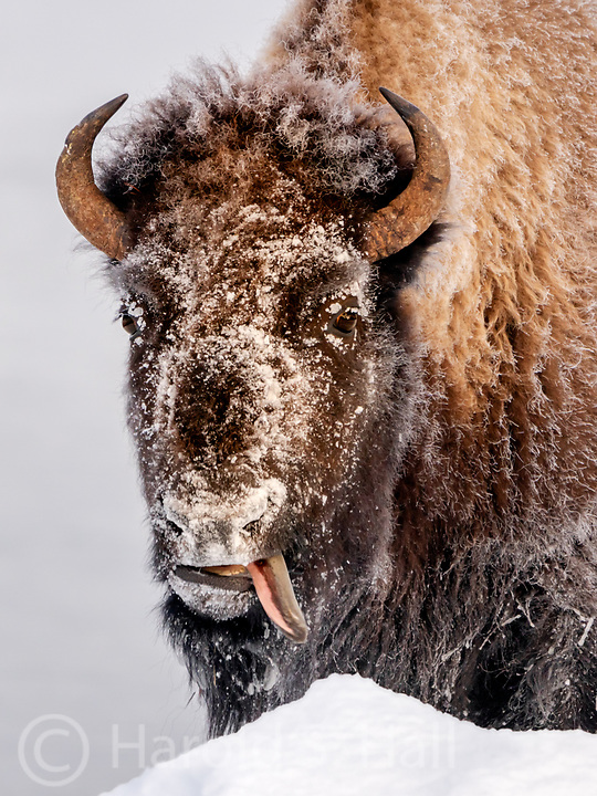 The class clown of a Yellowstone buffalo herd sticks his tongue out at the photographer tourists.  I captured the moment then turned him into the park service supervisor.