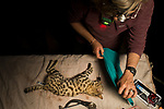 Black-footed Cat (Felis nigripes) veterinarian, Birgit Eggers, placing sheet over male during collaring, Benfontein Nature Reserve, South Africa