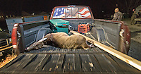 A hunter pulls his pickup truck into the line at the deer check station.<br />