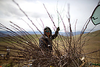 Orlando Delgado plants one-year-old Cosmic Crisp nursery trees in the McDougall & Sons Inc., orchards in Wenatchee, WA on April 13, 2018. The new variety of apple is being developed by the Washington State University Tree Fruit Research and Extension Center. Cosmic Crisp apples will debut with consumers in 2019. (Photo by Karen Ducey)