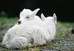 Mountain goat kids sleep, Olympic National Park, Washington, USA