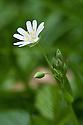 Lesser stitchwort (Stellaria graminea), mid April.