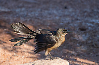 A female Great-tailed Grackle, Quiscalus mexicanus, stretches its wings in Papago Park, part of the Phoenix Mountains Preserve near Phoenix, Arizona