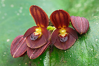 Orchid (Pleurothallis), blooming, Department of Putumayo, Colombia