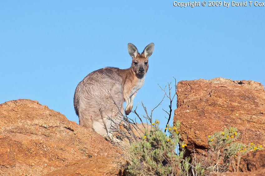 Euro aka Common Wallaroo, near original Alice Springs, NT, Australia