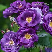 Gisela, FLOWERS, BLUMEN, FLORES, photos+++++,DTGK2316,#F#, EVERYDAY