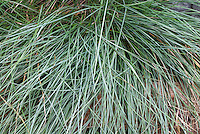 Festuca glauca 'Elijah Blue' ornamental grass
