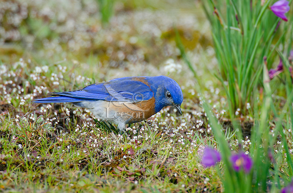 Male Western Bluebird (Sialia mexicana) looking for insects.   Columbia River Gorge National Scenic Area, Washington-Oregon border.  Early Spring.