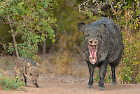 650520215a a wild baby javelina dicolytes tajacu interacts with its yawning mother on beto gutierrez ranch hidalgo county texas united states
