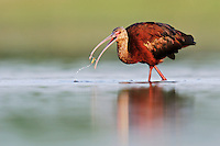 White-faced Ibis (Plegadis chihi), adult eating, Dinero, Lake Corpus Christi, South Texas, USA