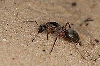 Waldameise Königin, Waldameisenkönigin, Formica spec., (F. rufa oder F. polyctena), wood ant, Wood Ants, Formica sensu stricto