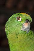 Aldeia Baú, Para State, Brazil. Green parrot.