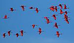 Scarlet ibis, Para State, Brazil