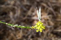 With wings upright, a Cabbage White butterfly pauses on a yellow flower along the San Francisco Bay Trail.