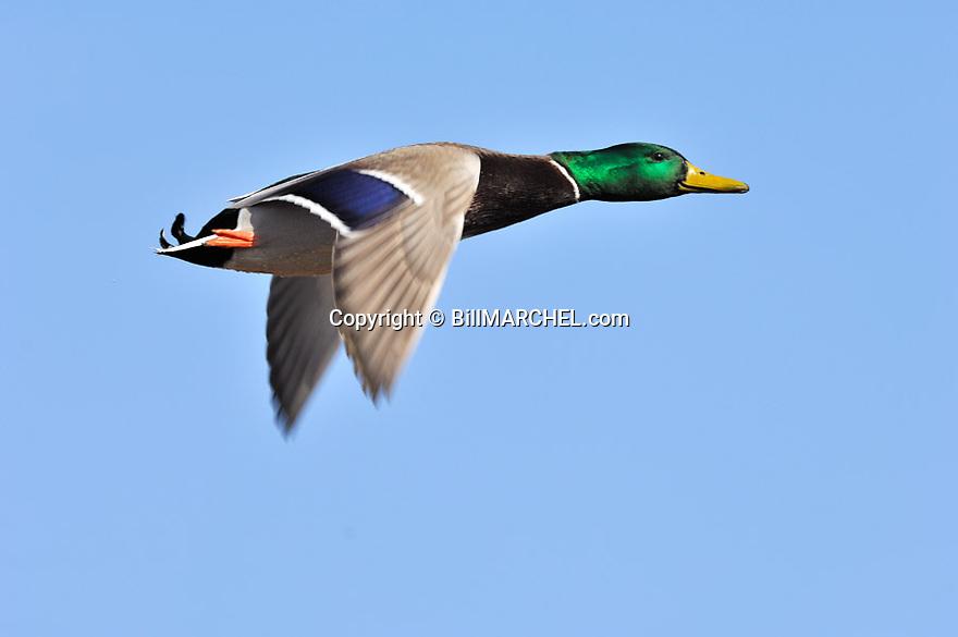 00330-076.08 Mallard Duck (DIGITAL) drake in flight against a blue sky.  Greenhead, waterfowl, action, color, hunt.  H5R1