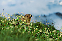 Olympic Marmot (Marmota olympus) in alpine meadow covered with bistort flowers.  Olympic National Park, WA.  Summer.