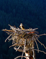 Osprey in nest of dead tree. Quake Lake, Montana.