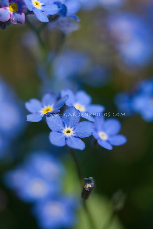 Myosotis scorpioides Victoria Blue Indigo (Forget-me-not) showing several closeup small blue flowers in forefront against blurred background