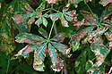 Horse Chestnut leaves {Aesculus hippocastanum} infested with Leaf Miner Moth (Cameraria ohridella) Peak District National Park, Derbyshire, UK. July. This insect is an invasive alien species to the UK.