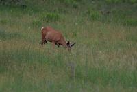 Mule Deer Dow feeds in a meadow in southern Utah.